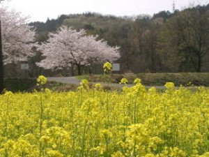 巾着田の春は桜と菜の花
