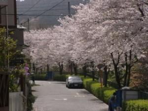 七丁目の桜並木